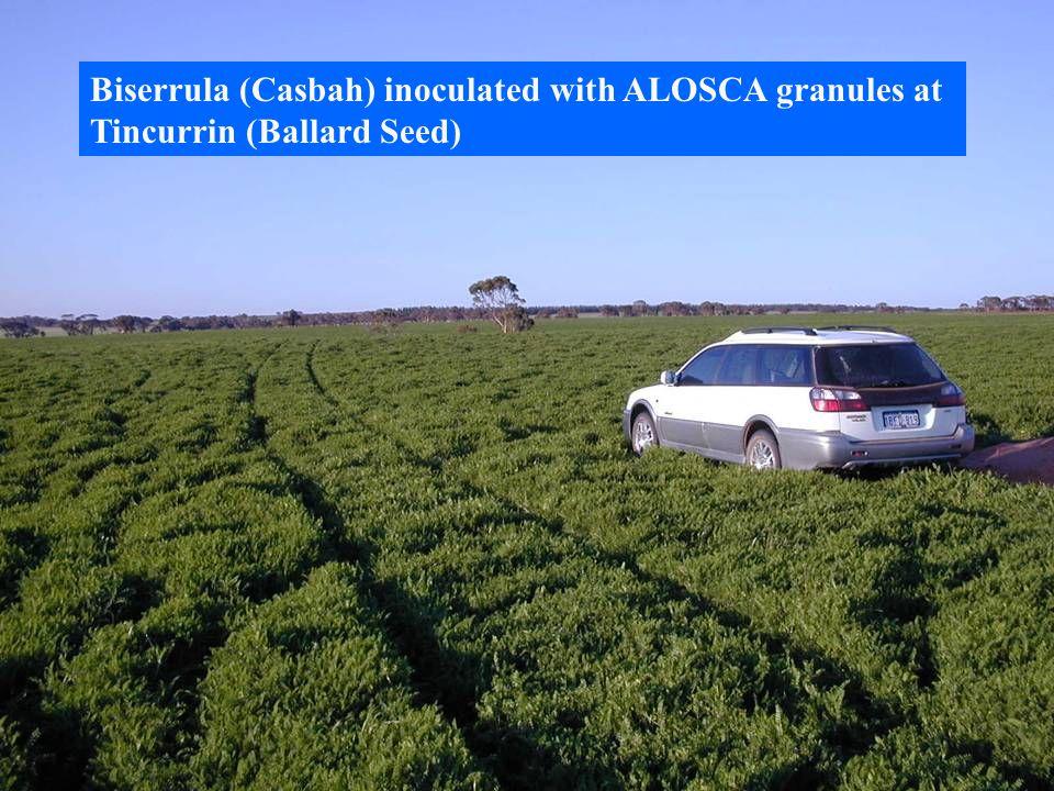 Biserrula (Casbah) inoculated with ALOSCA granules at
