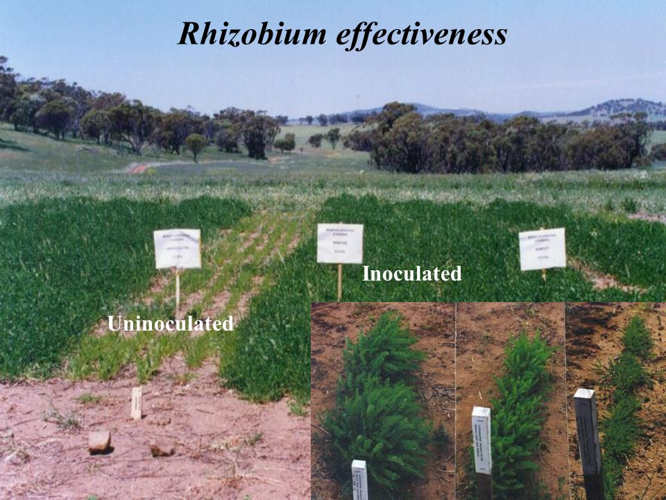 Rhizobium effectiveness