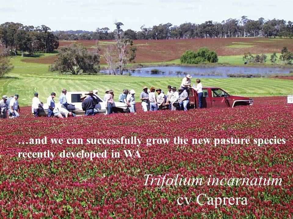 Trifolium incarnatum cv Caprera