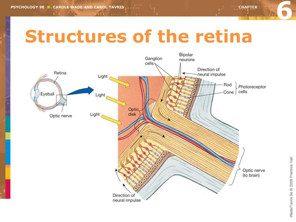Structures of the retina