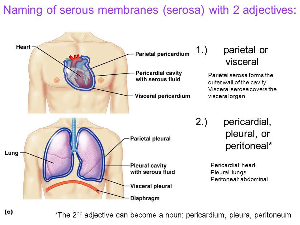 1.) parietal or visceral 2.) pericardial, pleural, or peritoneal*