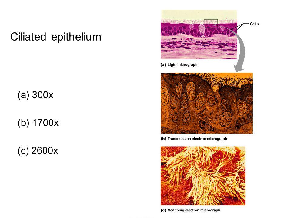 Ciliated epithelium (a) 300x (b) 1700x (c) 2600x
