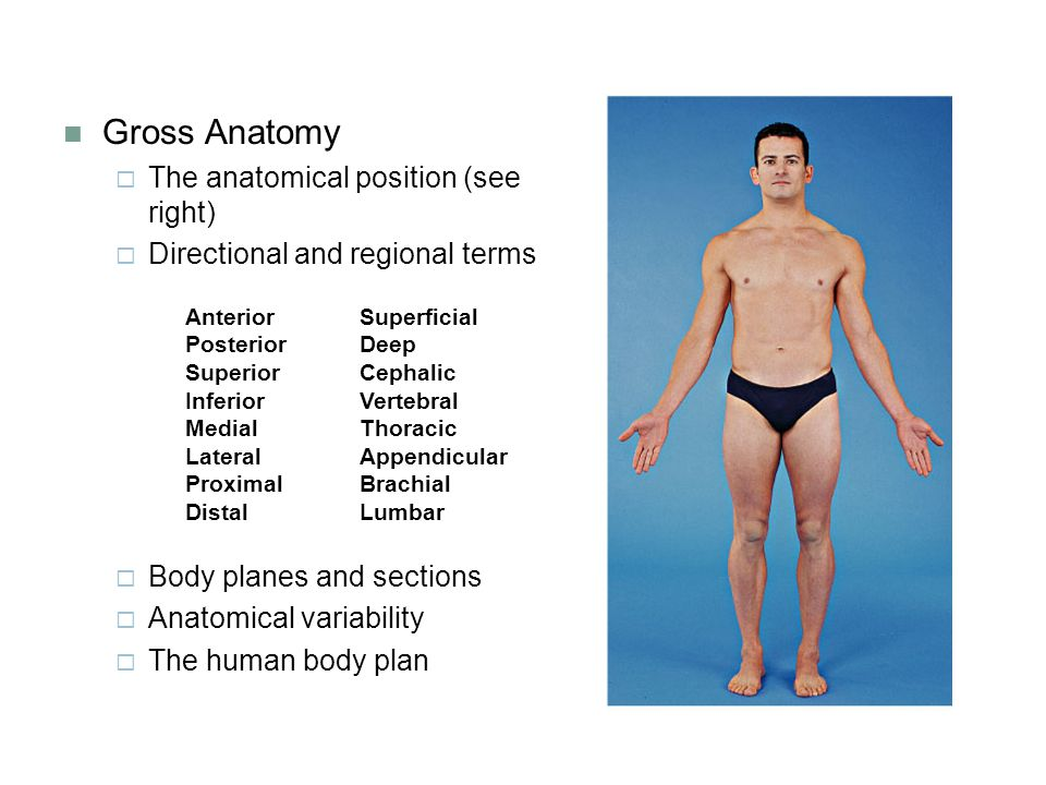 Gross Anatomy The anatomical position (see right)