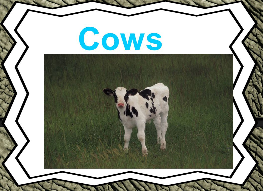 Cows Animal Reports