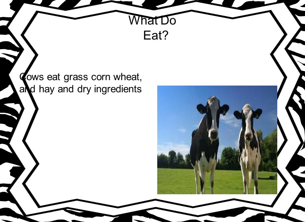 What Do Eat Cows eat grass corn wheat, and hay and dry ingredients