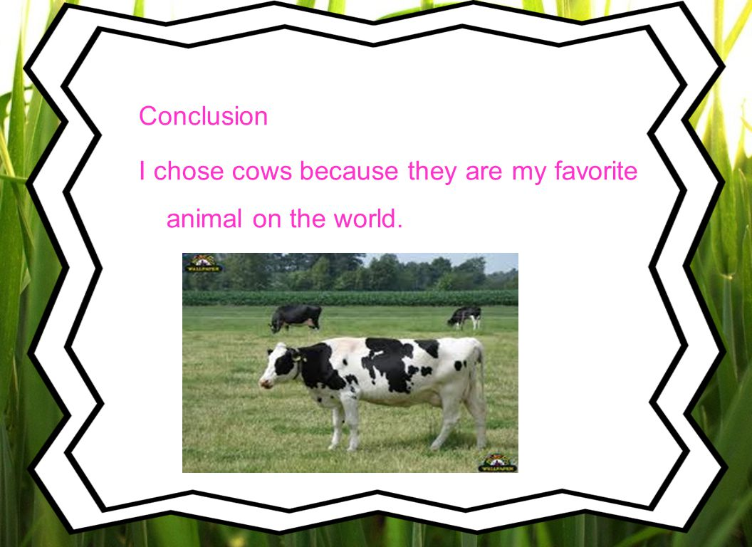 Conclusion I chose cows because they are my favorite animal on the world.