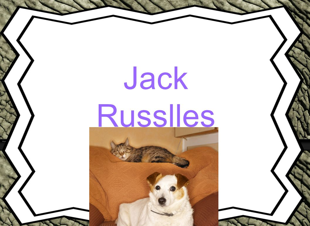 Jack Russlles Animal Reports