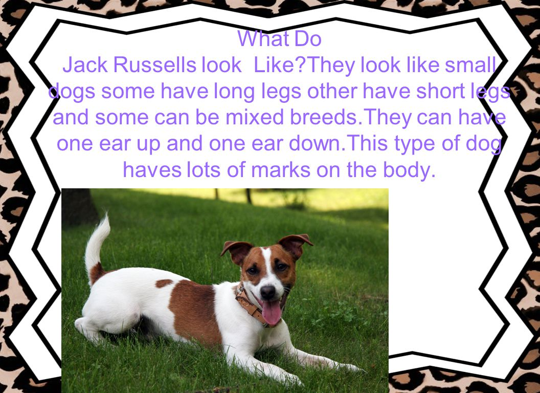 What Do Jack Russells look Like