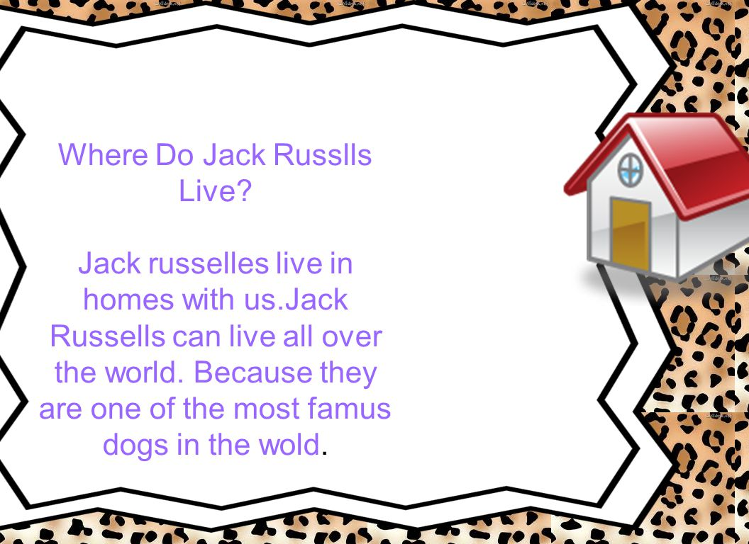 Where Do Jack Russlls Live. Jack russelles live in homes with us