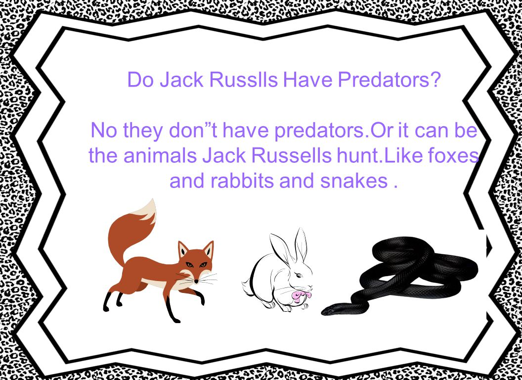 Do Jack Russlls Have Predators. No they don t have predators