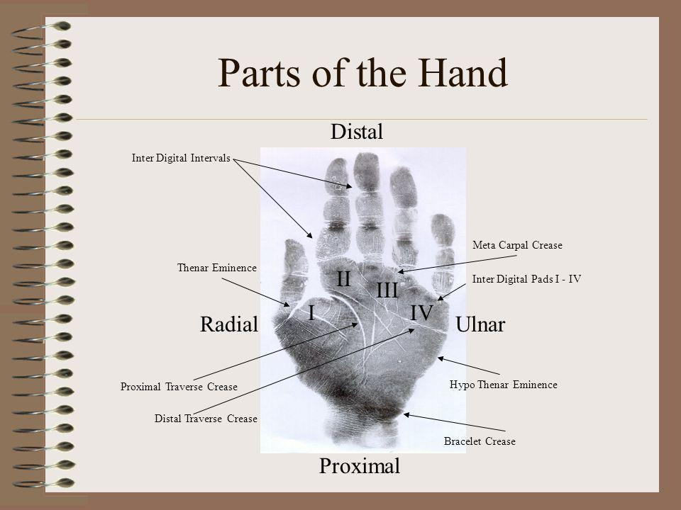 Parts of the Hand Distal II III I IV Radial Ulnar Proximal