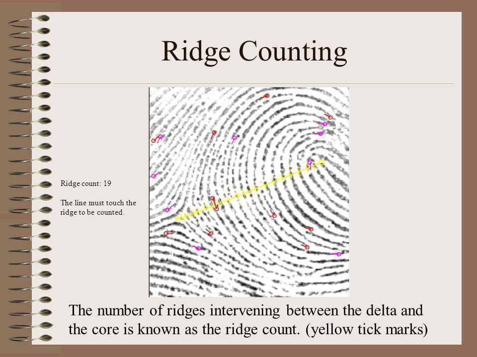 Ridge Counting Ridge count: 19 The line must touch the ridge to be counted.