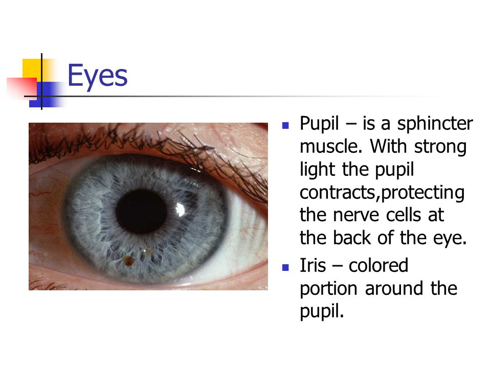 Eyes Pupil – is a sphincter muscle. With strong light the pupil contracts,protecting the nerve cells at the back of the eye.