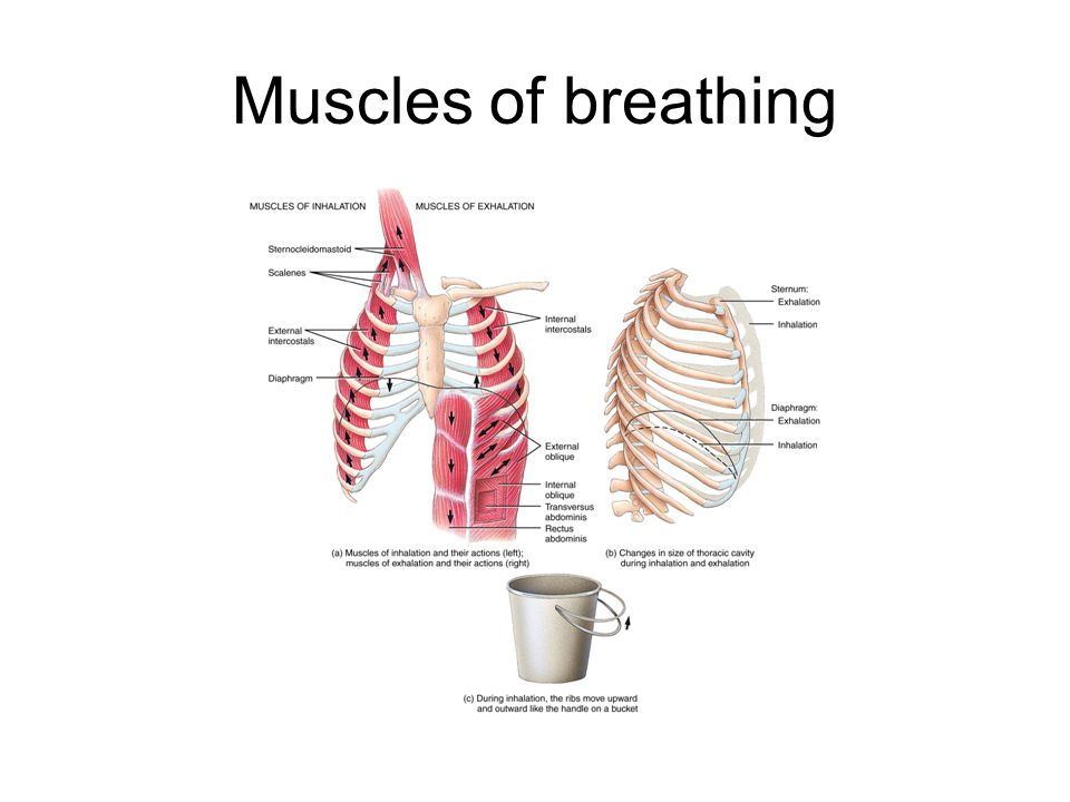 Muscles of breathing