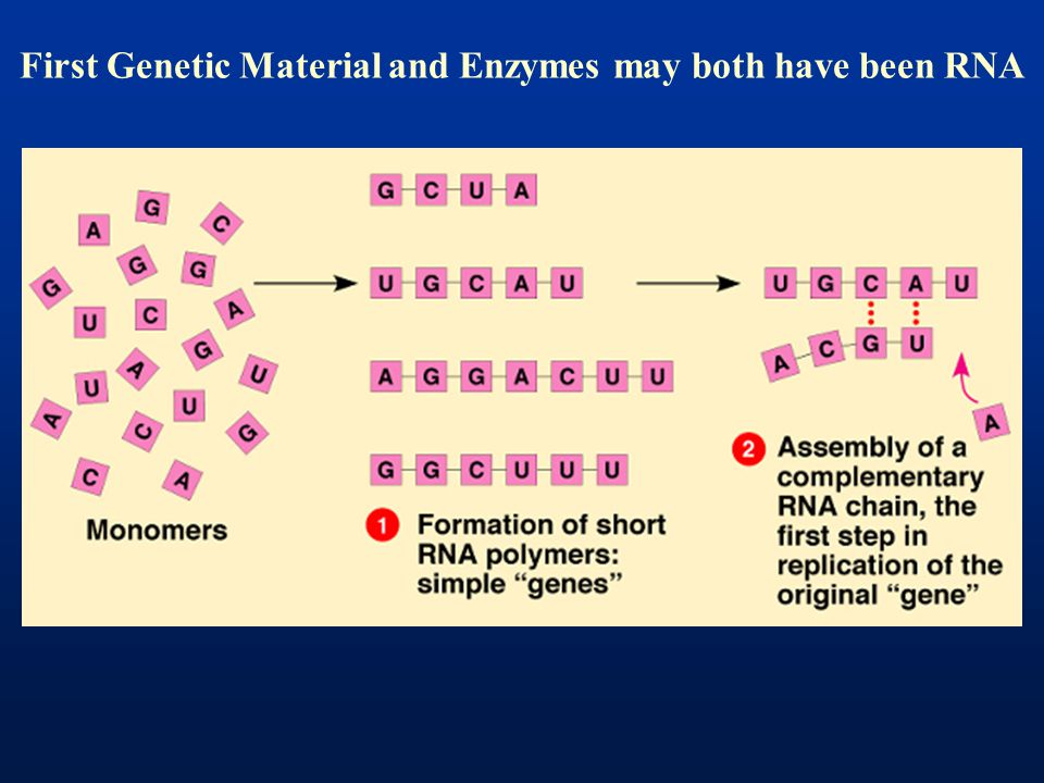 First Genetic Material and Enzymes may both have been RNA