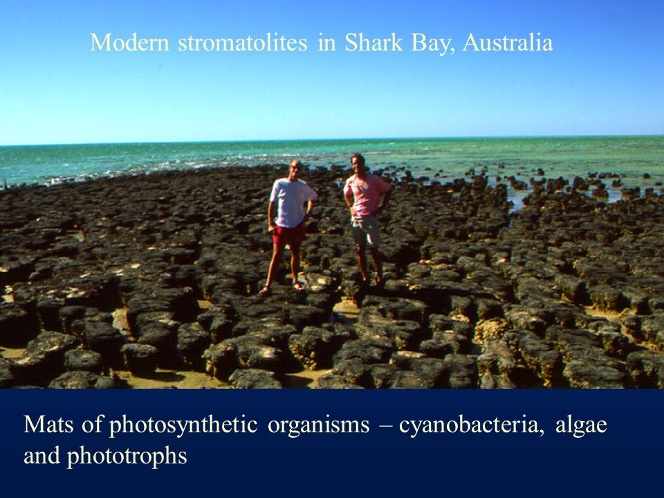 Modern stromatolites in Shark Bay, Australia