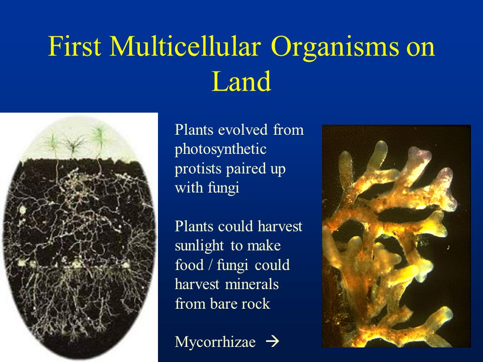 First Multicellular Organisms on Land