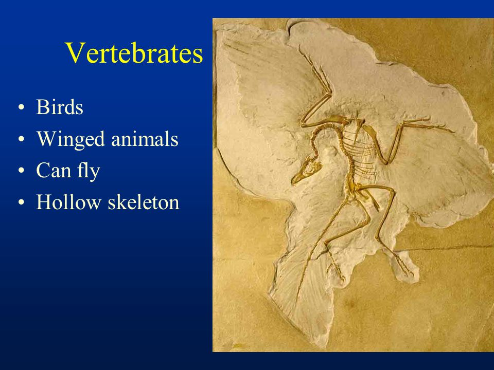Vertebrates Birds Winged animals Can fly Hollow skeleton
