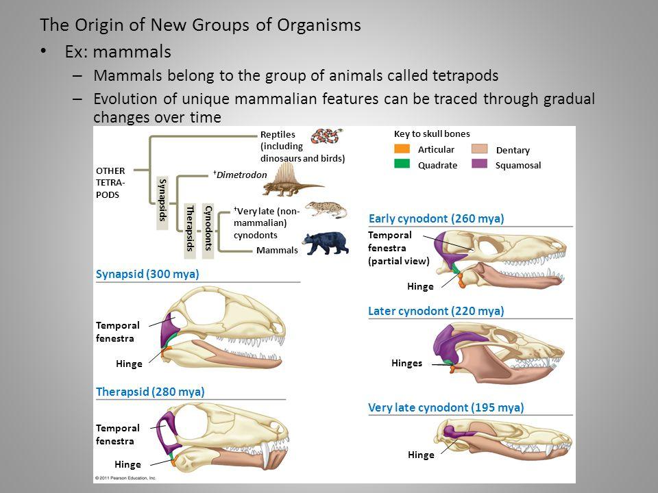 The Origin of New Groups of Organisms Ex: mammals