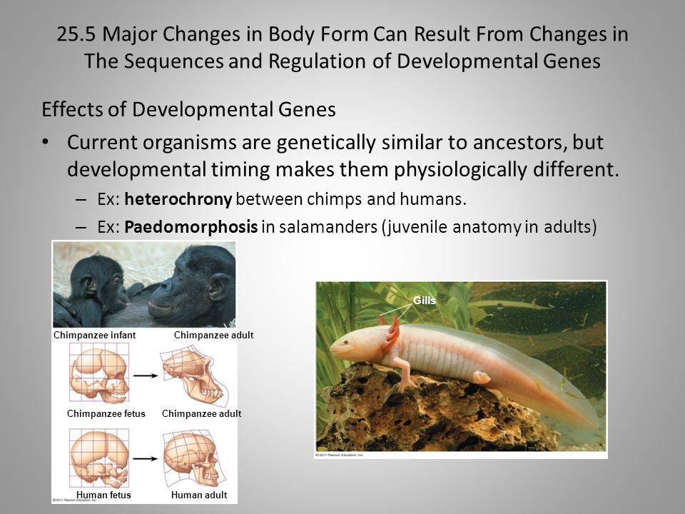 Effects of Developmental Genes