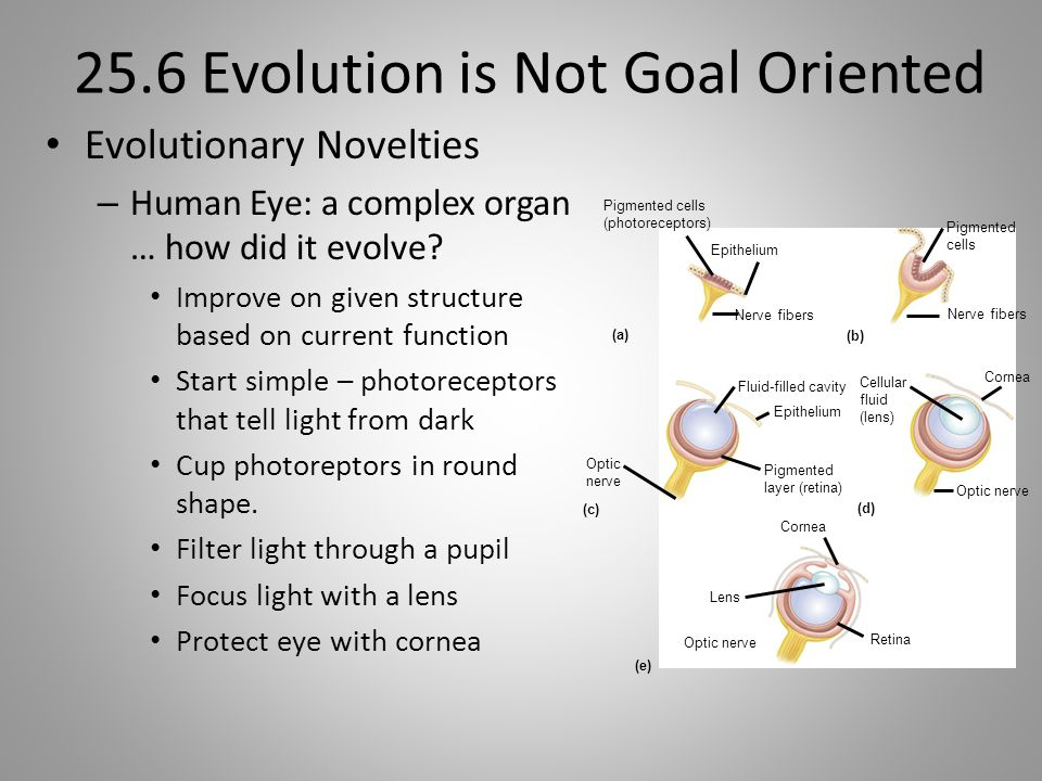 25.6 Evolution is Not Goal Oriented