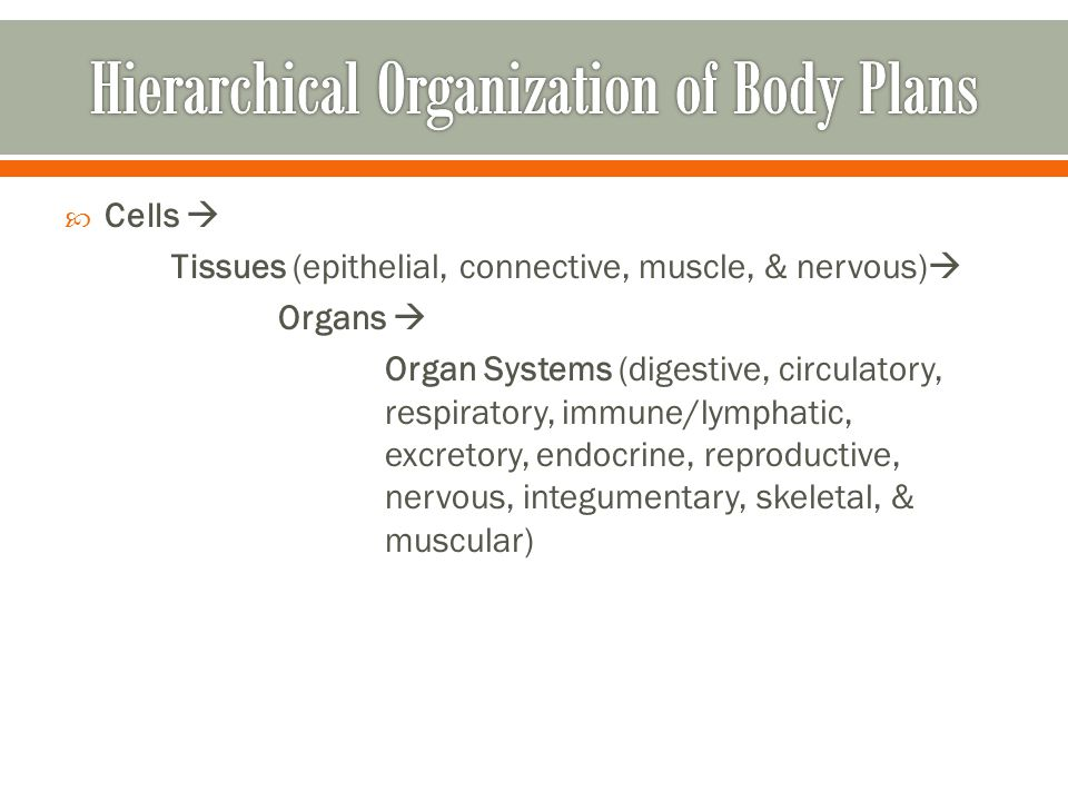 Hierarchical Organization of Body Plans