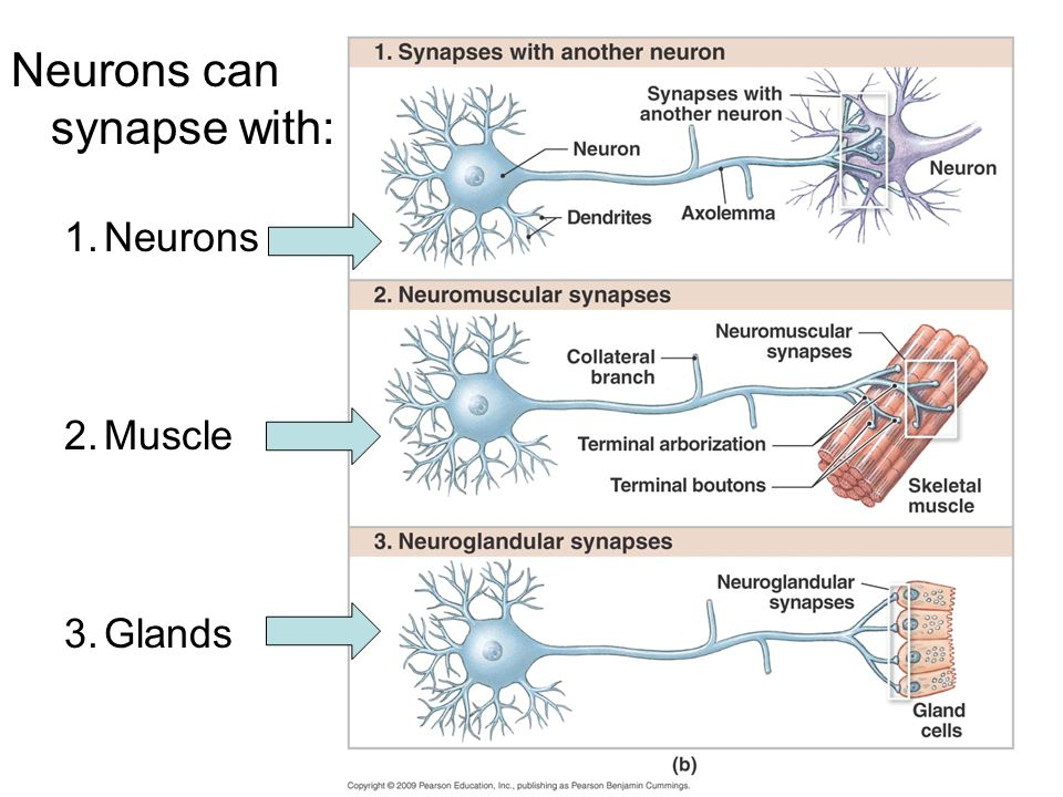 Neurons can synapse with: