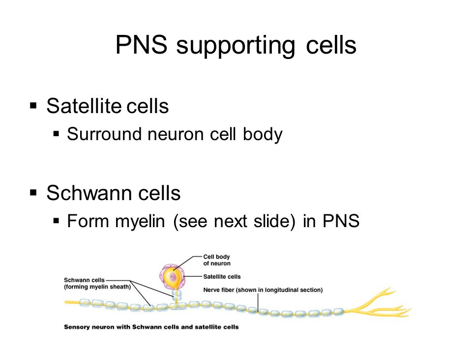 PNS supporting cells Satellite cells Schwann cells