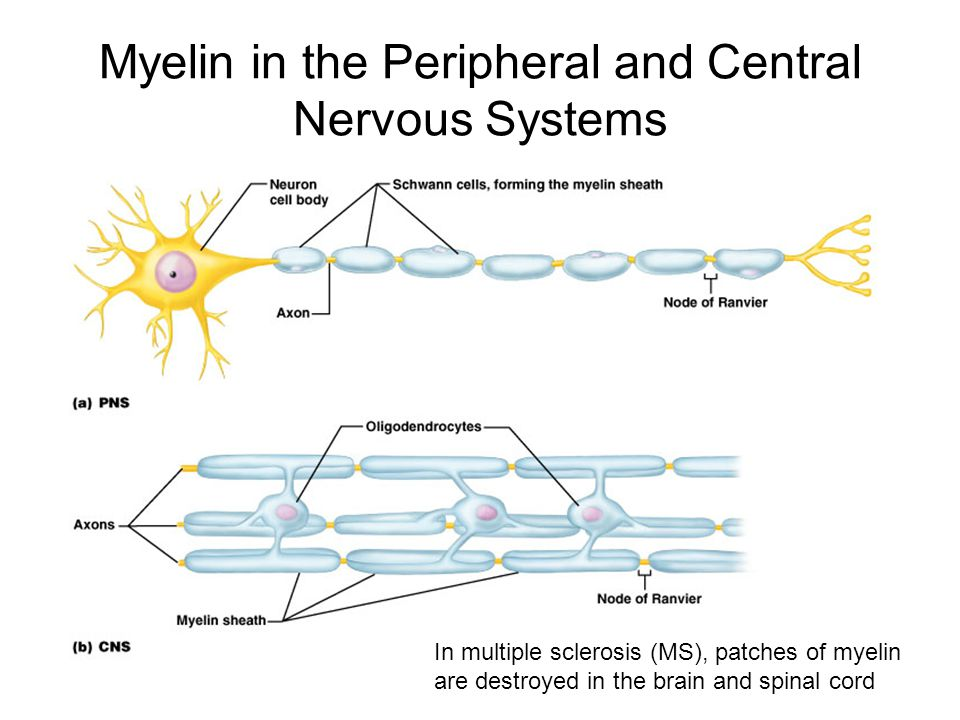 Question feed how does myelin production differ in the central as seen in the image above we can see that the oligodendrocytes surround multiple axons and the schwann cells surround only one ccuart Gallery