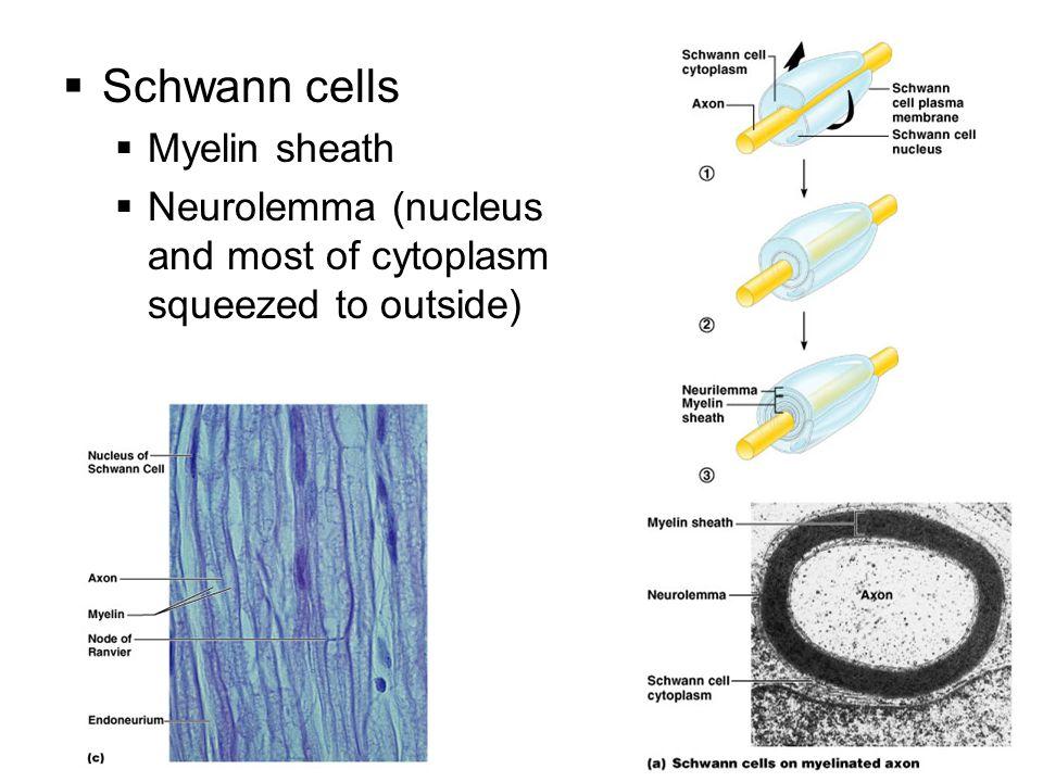 Schwann cells Myelin sheath