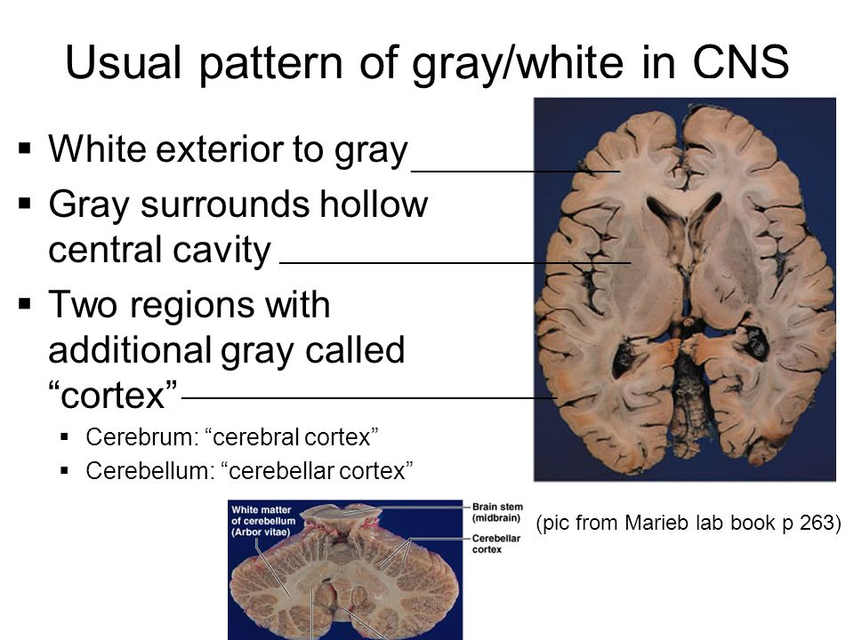 Usual pattern of gray/white in CNS