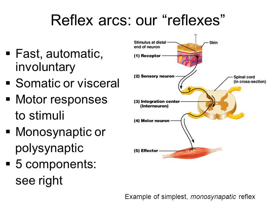 Reflex arcs: our reflexes