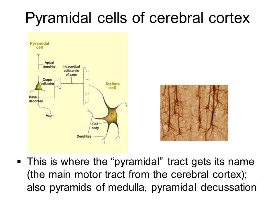 Pyramidal cells of cerebral cortex