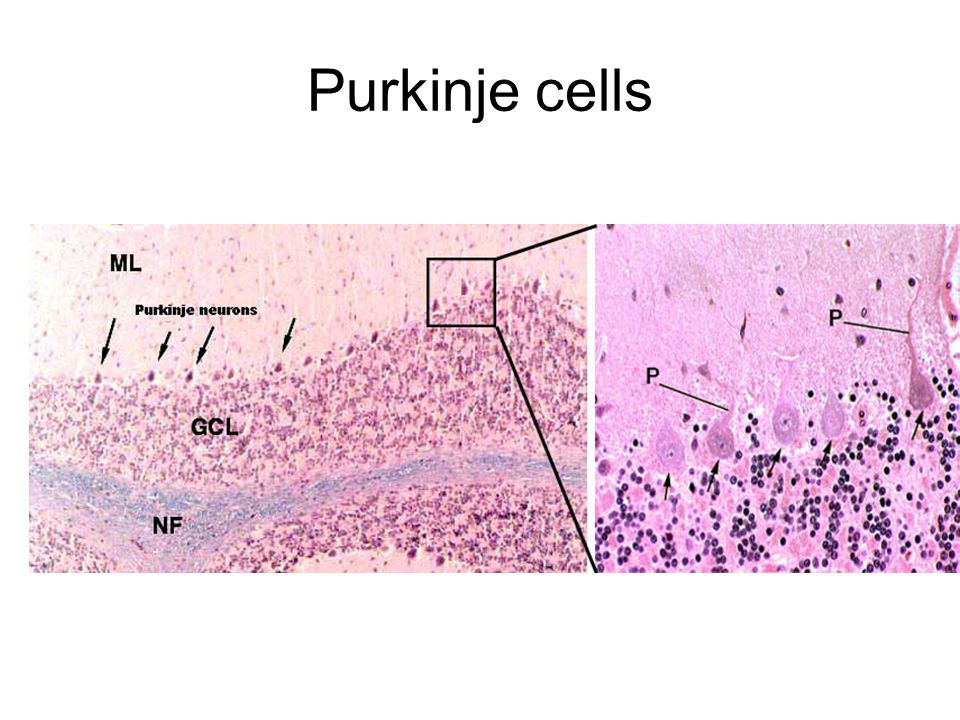 Fundamentals of the nervous system ppt video online download - Pure kindje ...