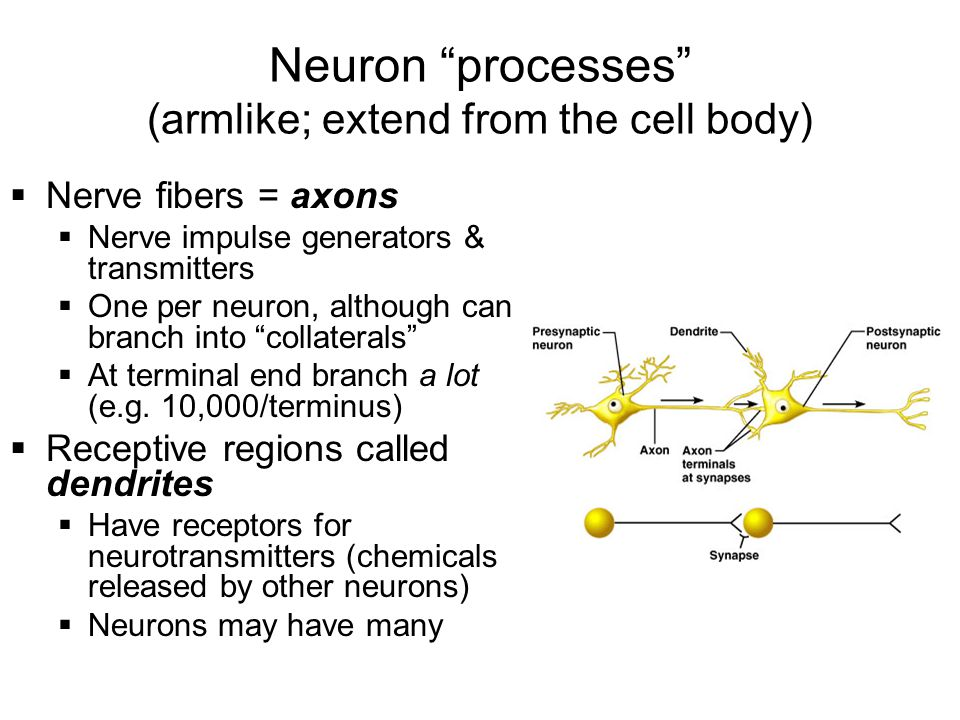 Neuron processes (armlike; extend from the cell body)