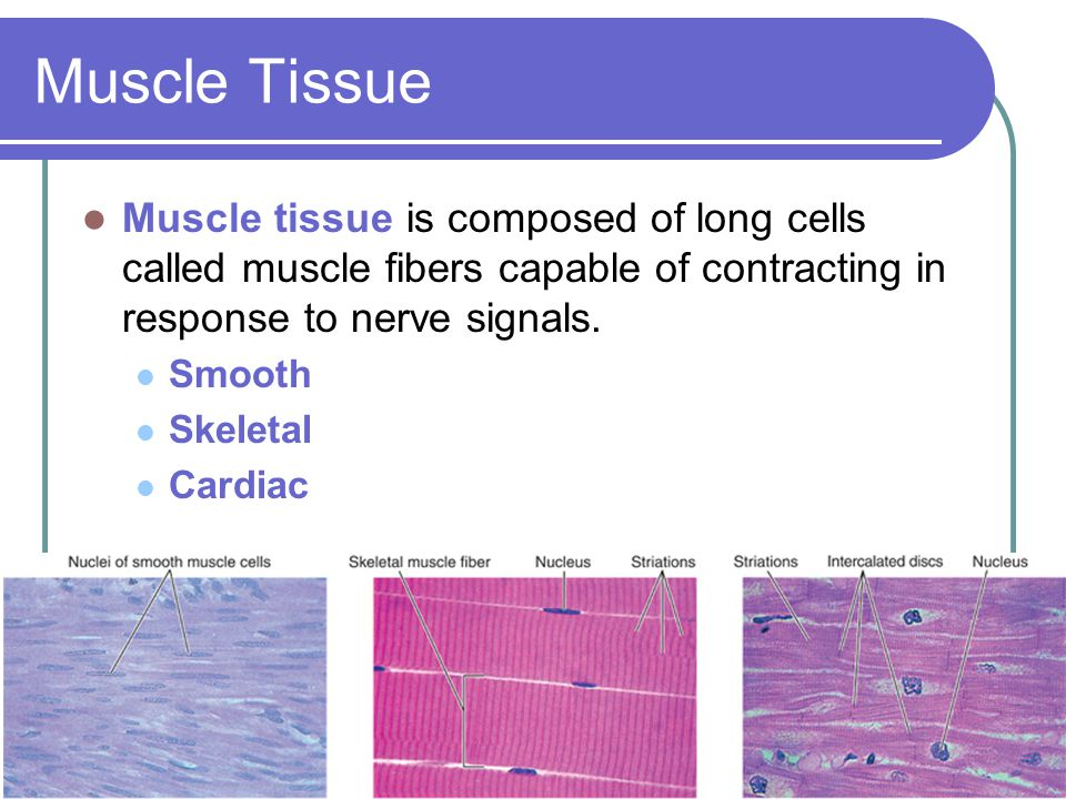 Muscle Tissue Muscle tissue is composed of long cells called muscle fibers capable of contracting in response to nerve signals.