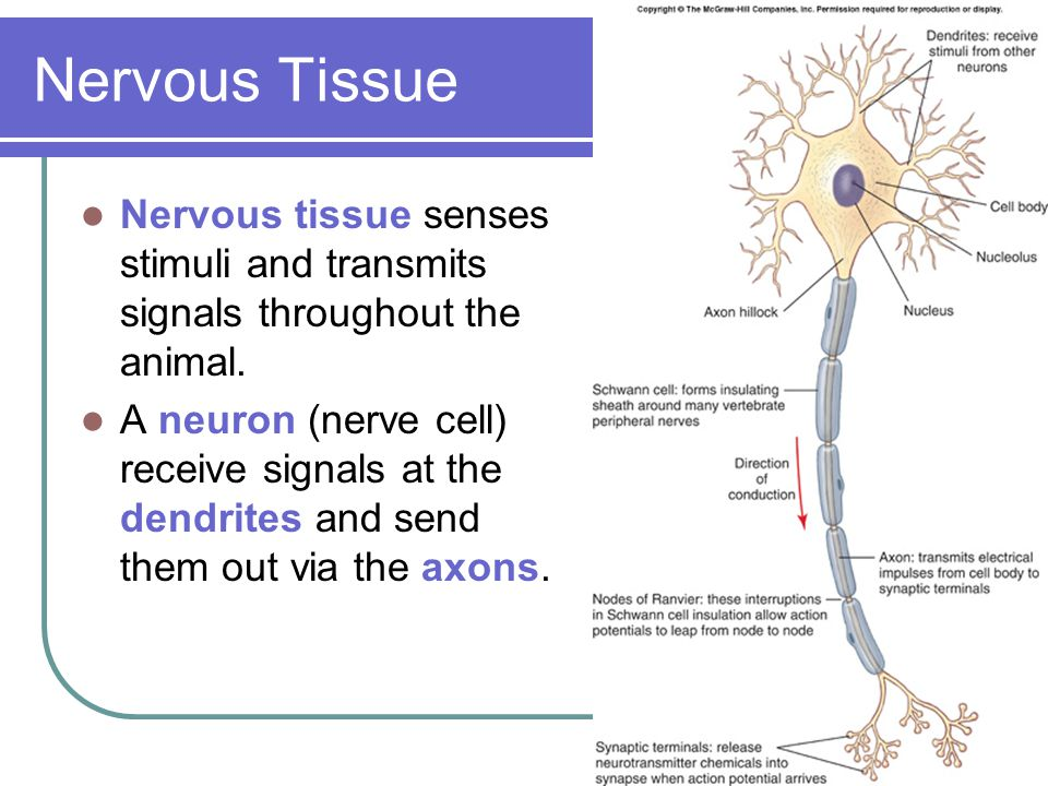 Nervous Tissue Nervous tissue senses stimuli and transmits signals throughout the animal.
