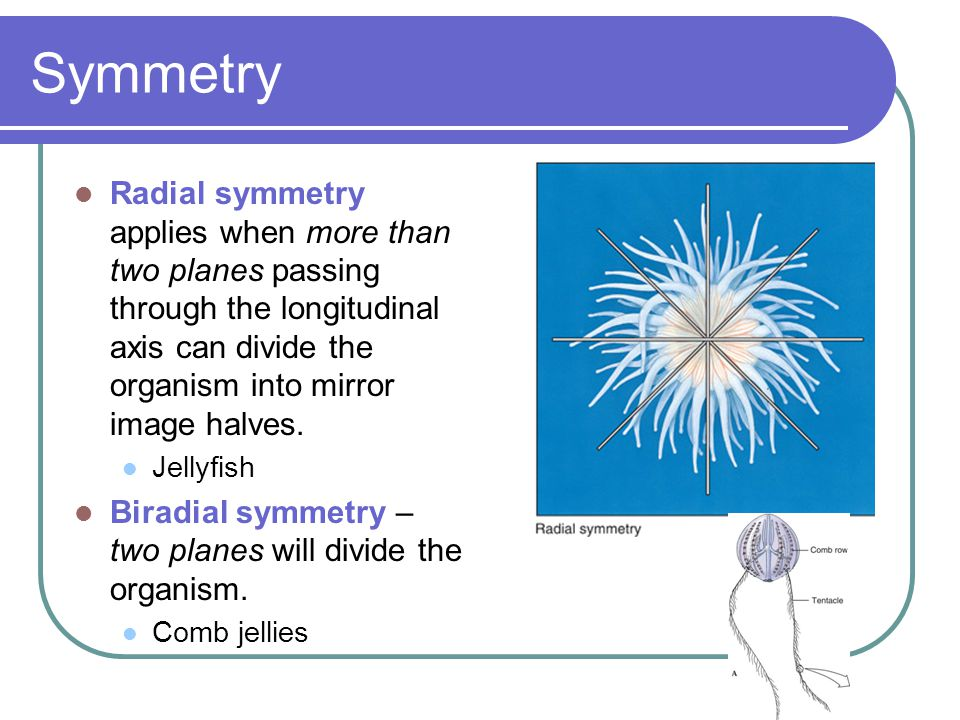Symmetry Radial symmetry applies when more than two planes passing through the longitudinal axis can divide the organism into mirror image halves.