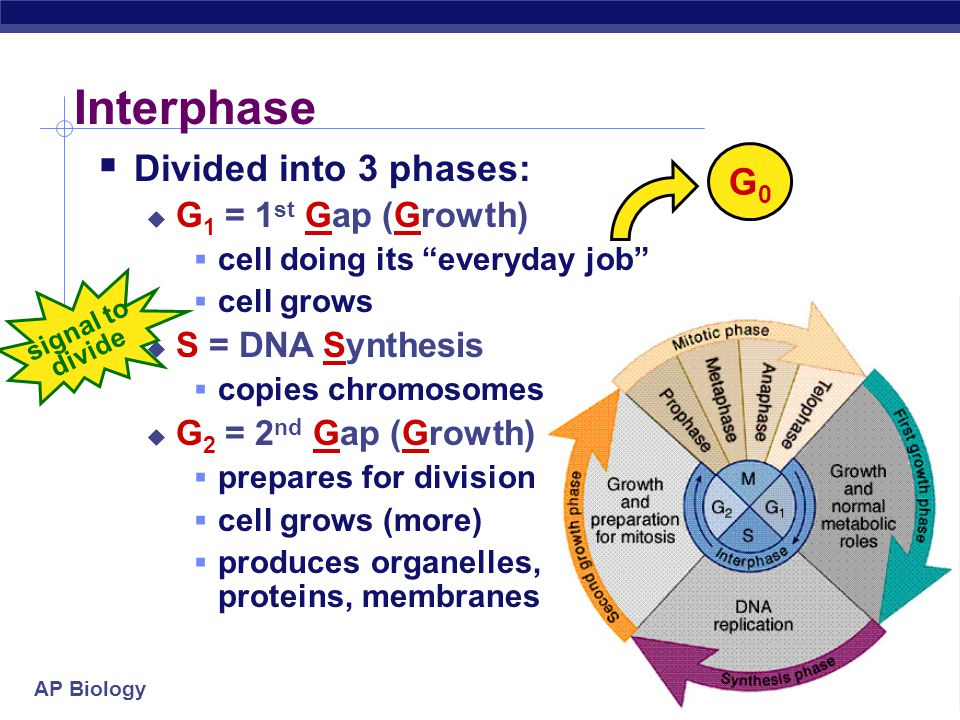 Interphase Divided into 3 phases: G0 G1 = 1st Gap (Growth)