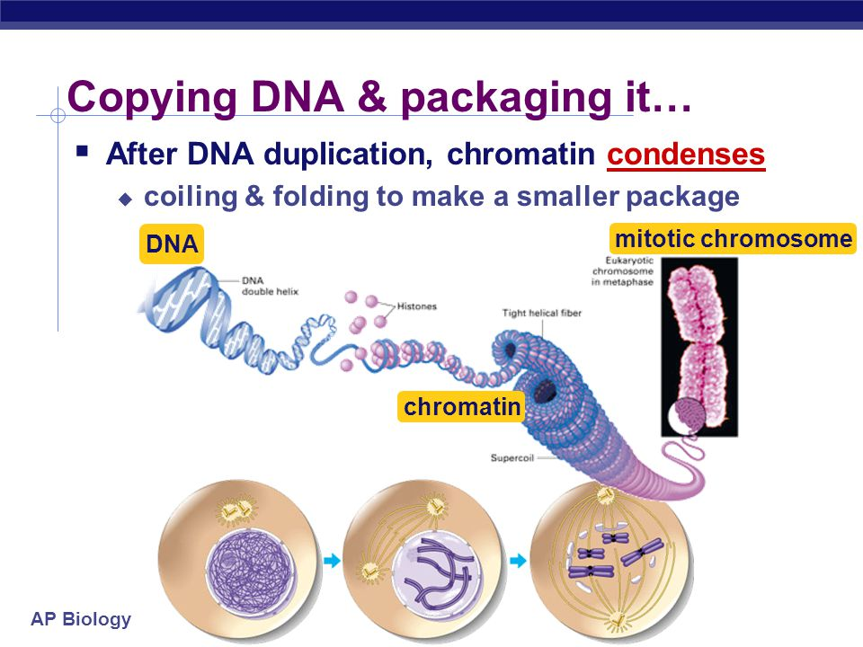 Copying DNA & packaging it…