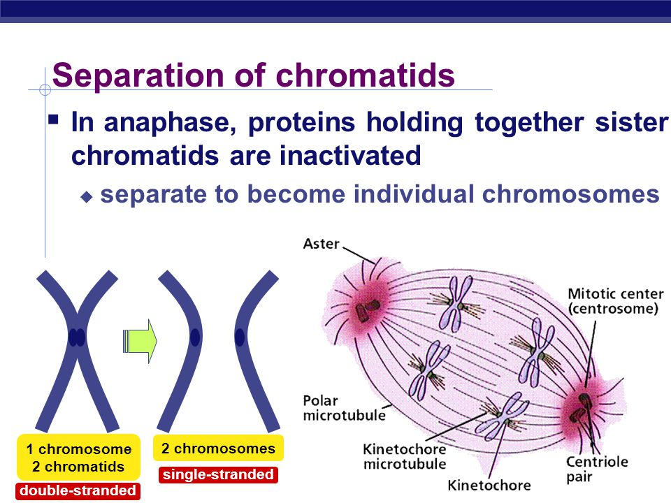 Separation of chromatids