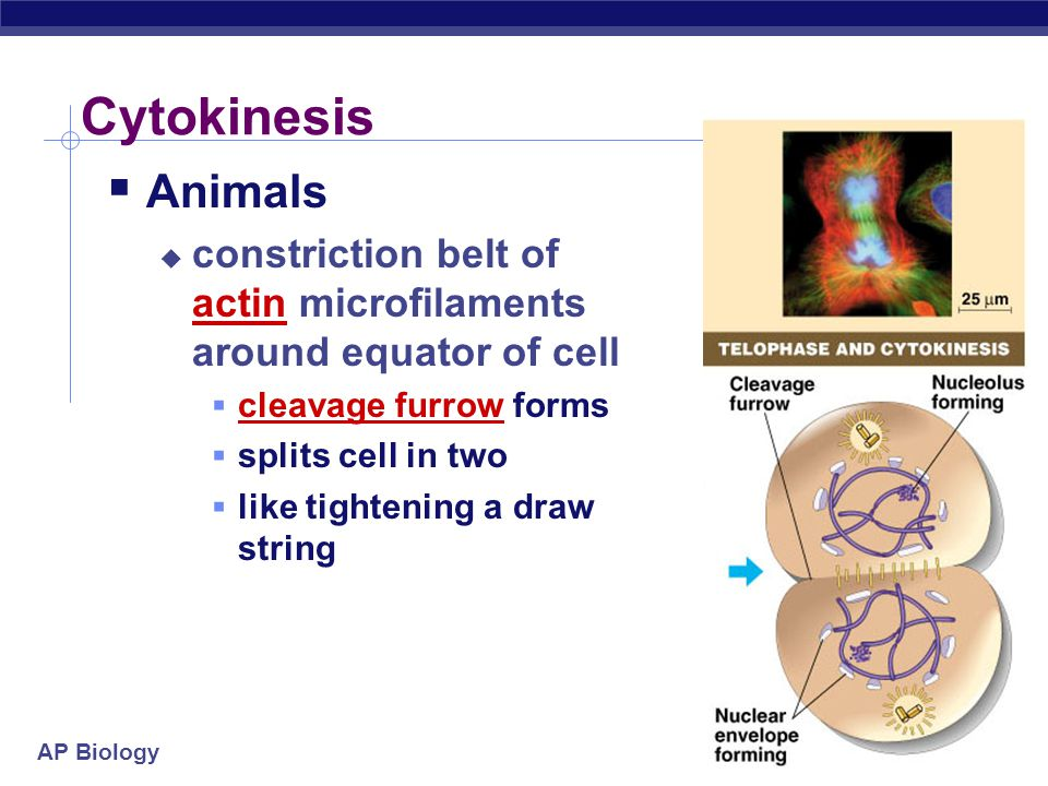 Cytokinesis Animals. constriction belt of actin microfilaments around equator of cell. cleavage furrow forms.