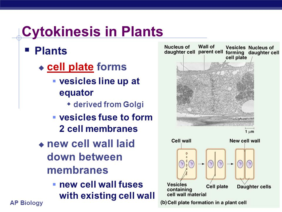 Cytokinesis in Plants Plants cell plate forms