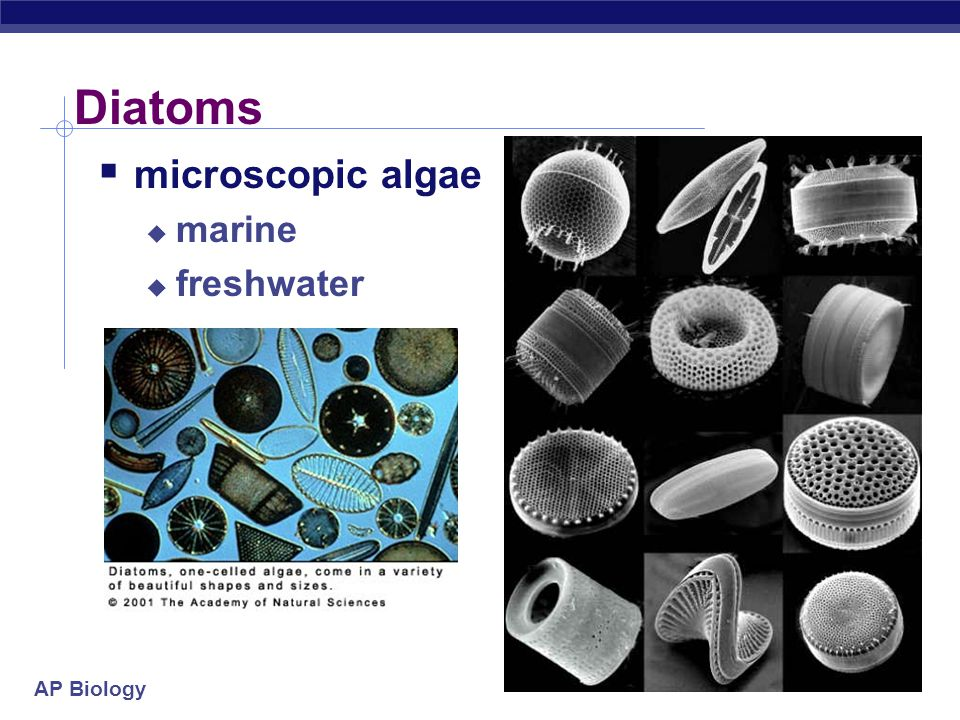 Diatoms microscopic algae marine freshwater