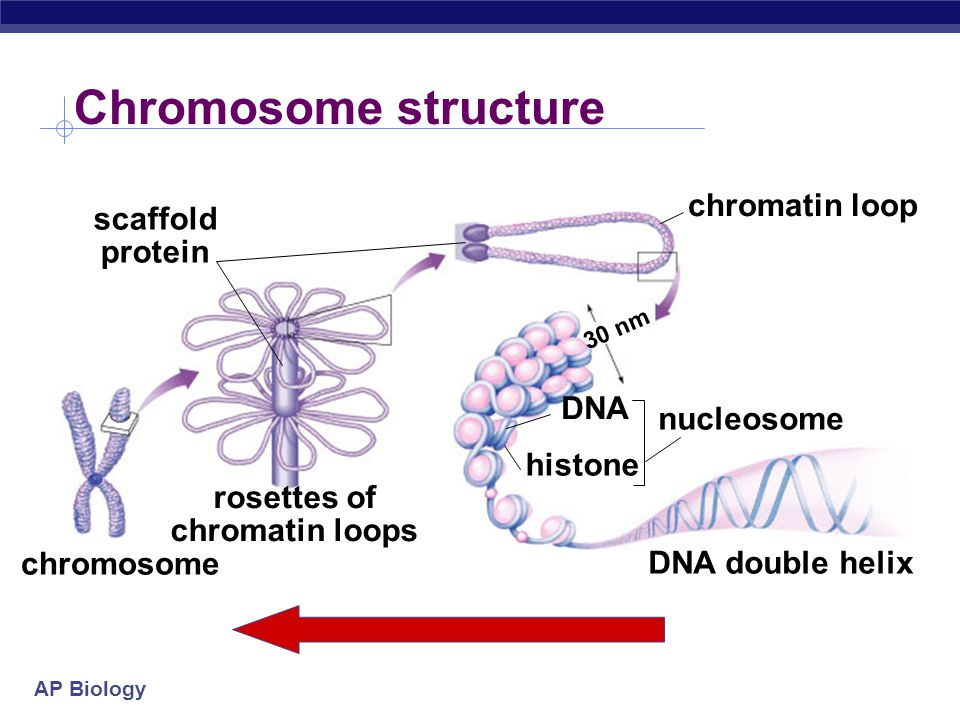 Chromosome structure chromatin loop scaffold protein DNA nucleosome
