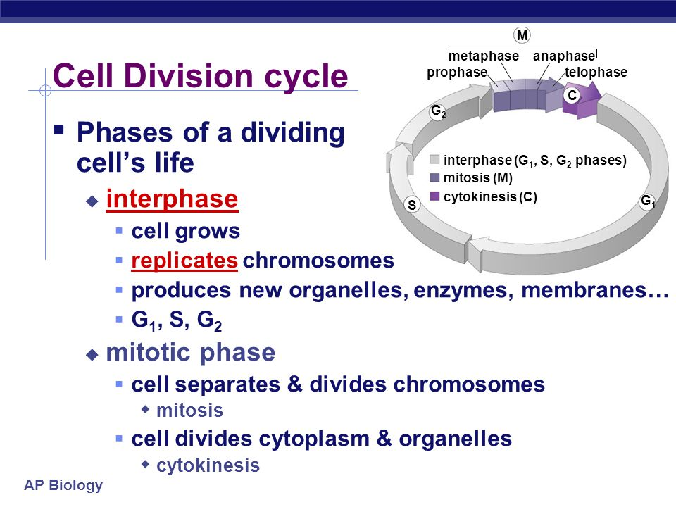 Cell Division cycle Phases of a dividing cell's life interphase