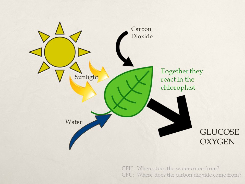GLUCOSE OXYGEN Together they react in the chloroplast Carbon Dioxide