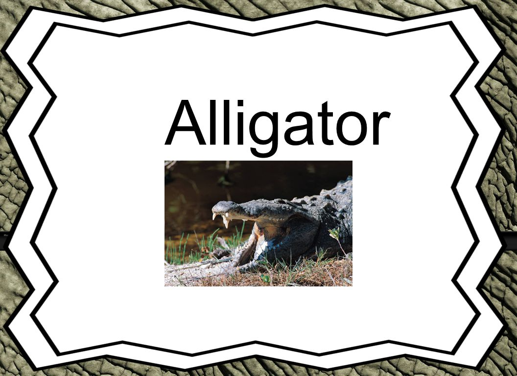 Alligator Animal Reports