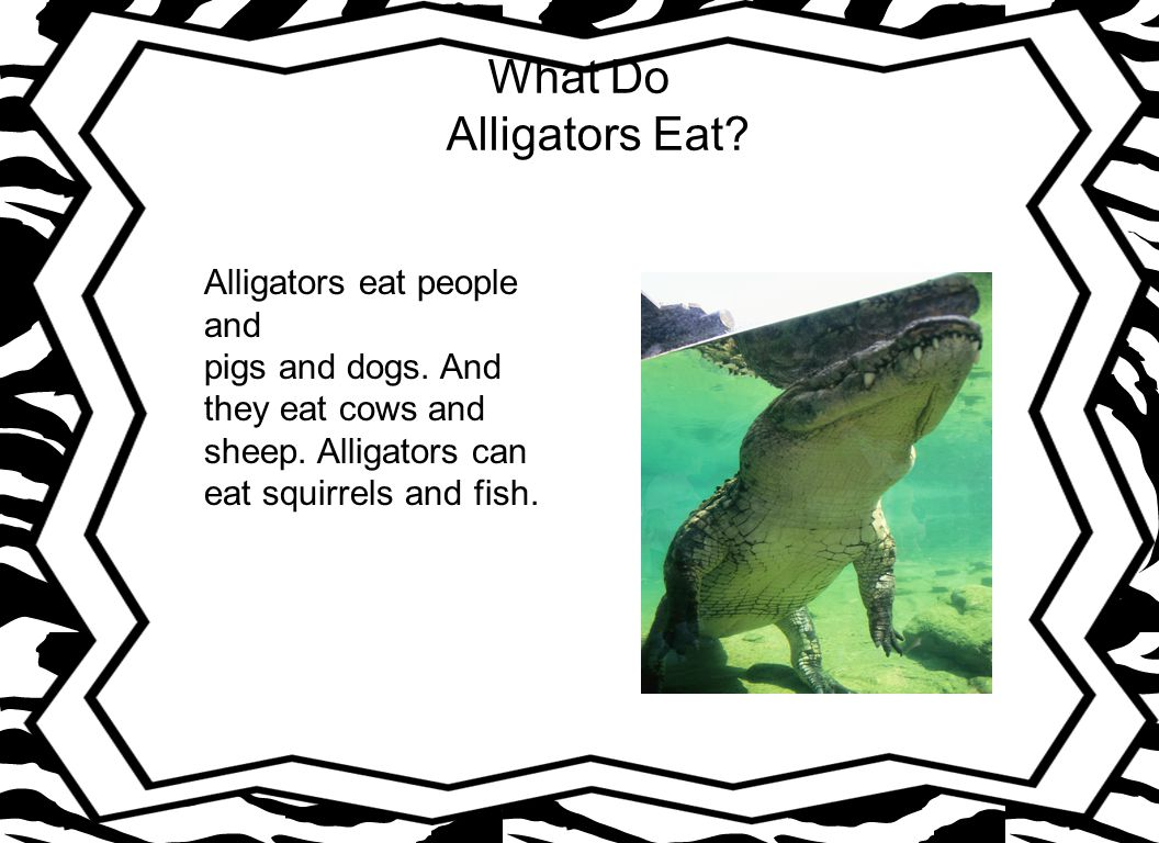 What Do Alligators Eat Alligators eat people and