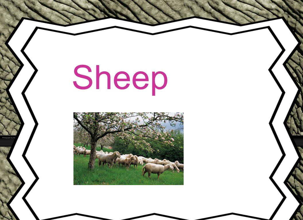 Sheep Animal Reports